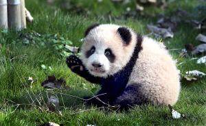 """首只在沪出生大熊猫""""花生""""第一次出门活动,刚学会走路"""
