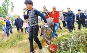 重庆一头野猪窜进小区伤人被击毙,官方:分给困难户和伤者吃