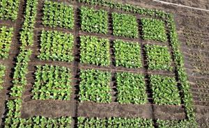 盖茨基金会支持的基因技术,提高了烟草植物20%的产量