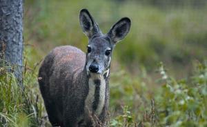四川截获5只一级保护动物林麝,送安置途中撞击护栏伤痕累累