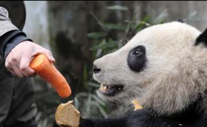 四川野化大熊猫因护仔攻击,致饲养员四肢肌肉严重受伤