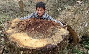 """2017年1月5日,江西婺源县清华镇东源村坦头小组村民反映,该村的""""村树""""一棵一百多年的板栗树被砍伐,村民栽种的四五十年的40多棵棕树被连根拔出。村民表示:""""这么好的树,也不进行移植,开发商随随便便地雇人砍了,在号称森林大县的地方发生这样的事情,实在让人痛心""""。图为直径85公分的""""村树"""",一棵一百多年的板栗树被砍。 东方IC 图"""