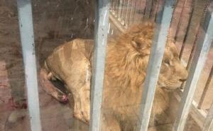 福建漳州一动物园狮子断尾无人管?园区:系手术后未及时包扎