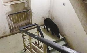 野猪闯进重庆交通大学校园,被警察4枪击毙
