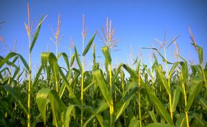 黑龙江农委官员:禁种转基因是对农民利益及生态环境的保护