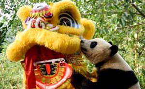 【中国广州】广州长隆野生动物世界,大熊猫三胞胎之一舞狮给大家拜年。