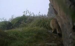 视频|极危物种荒漠猫现四川雪宝顶,系该自然保护区首次发现