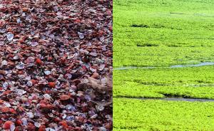 直击|天文大潮侵袭青岛,红色贝壳绿色浒苔席卷上岸