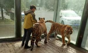 """贵州森林野生动物园回应""""虐虎"""":为饲养员与幼虎嬉戏场景"""