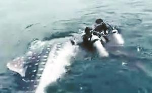 三亚捕捞鲸鲨事件调查组:视频实为景区救护人员转运受伤鲸鲨