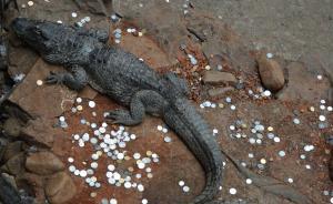 新闻点丨海龟撑死温泉变色,都是硬币惹的祸