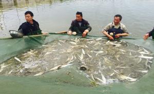 禁捕规划下的刀鱼季(下)人工养殖已试验十年,保留九成风味
