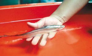 野味与驯化:禁捕规划下的刀鱼季