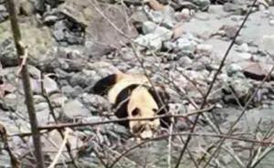 四川芦山发现下山喝水野生大熊猫,憨厚可爱不怕生