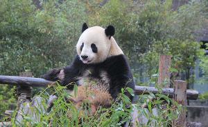 大熊猫国家公园27134平方公里,74%在四川