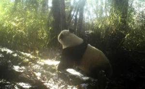 卧龙自然保护区野生大熊猫进入发情期,本月拍到3次圈地恋爱