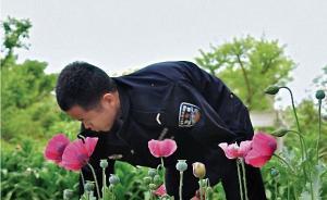法治课 罂粟开花,警方无人机巡查:因治病或观赏种植也不行