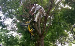"""北京一辆共享单车被""""挂""""上树,将通过监控追查破坏者"""