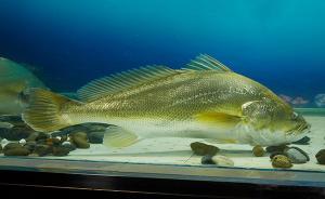 明察|347万买卖黄唇鱼,汕头市应急办辟谣称实为赤嘴鮸鱼