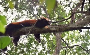 """""""离家出走""""8个月后,杭州动物园一小熊猫在西湖边被抓回"""