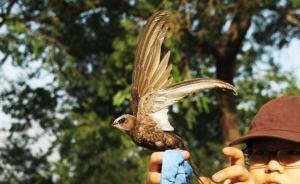 颐和园百余只雨燕年度体检,志愿者是这样捕鸟和拍证件照的