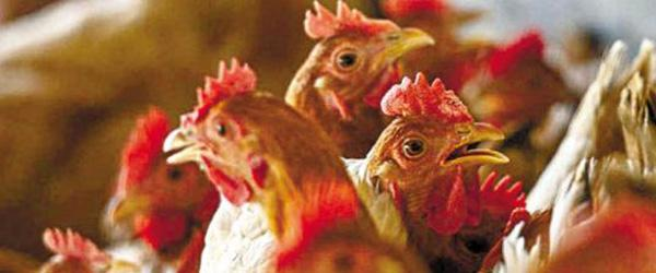 H7N9亚型禽流感疫苗将投入生产使用,6月底运抵广东广西