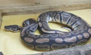 海南企业家以白鸽基地掩护收购17条蟒蛇被抓,系镇人大代表