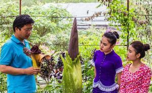 中科院版纳植物园栽培的巨魔芋花即将首次开花