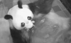 旅日大熊猫真真产崽,快来听熊猫叫
