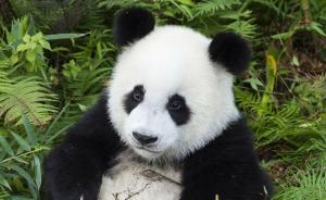 四川将推全球唯一大熊猫国际生态旅游线,共建5个主题项目