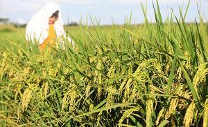 海南耐盐水稻大田试验获丰收,最高亩产逾400公斤