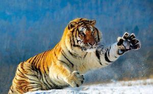 国家林业局猫科研究中心:野生东北虎16年增长近1倍
