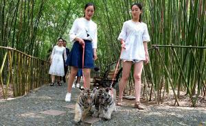 6月22日,河南洛阳,伏牛山地质公园鸡冠洞园区,姑娘们带着俩老虎遛弯散步,小老虎们十分温顺,模样呆萌可爱。视觉中国 图