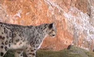 长江源珍贵野生动物活动视频首次披露:雪豹岩羊和神秘的小洞