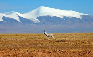 青海:可可西里藏羚羊目前已达到6万多只,连续8年无盗猎案