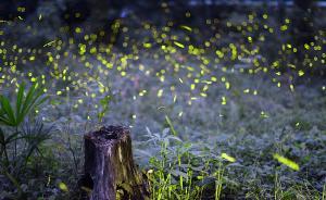 萤火虫买卖背后的生态危机:滥捕破坏食物链,会造成生态失衡