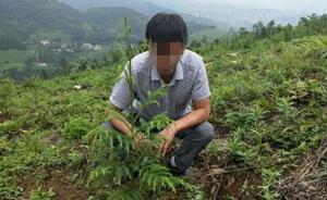 四川男子砍2棵珍稀植物红豆杉做炊具,主动补栽3亩森林赎罪