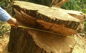 """延安一村庄""""精神图腾""""古树被盗砍:树龄或逾千年,当地调查"""