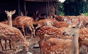 苏州法院将网上拍卖400多头梅花鹿,竞拍者须具备养鹿资质