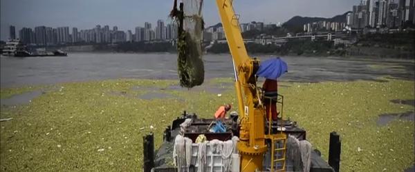 曾入侵滇池的危险植物水白菜侵占长江重庆段,日清漂量上百吨