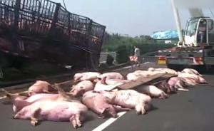 """载生猪货车侧翻,""""二师兄""""躺满高速"""