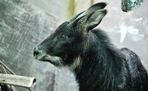 福建3人捡到淹死国家二级野生保护动物鬣羚,卖给他人被判刑