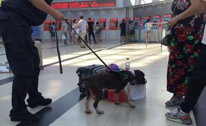 视频丨警犬高温故事:每天检查箱包六百余个