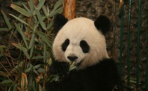 """旅法大熊猫""""欢欢""""被证实怀孕,将诞下首个""""法国熊猫宝宝"""""""