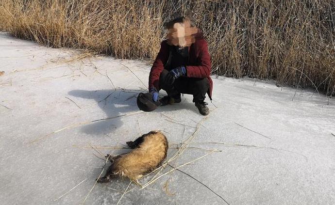 """疫情防控期捕猎国家""""三有""""保护动物狗獾,内蒙古一男子被罚"""