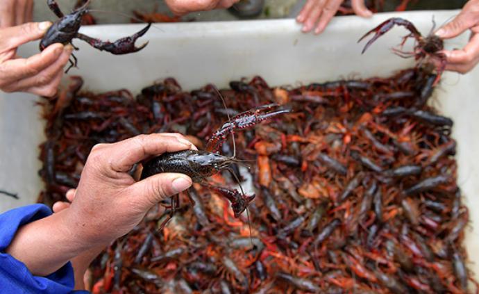 农业农村部:疫情致小龙虾、对虾和大宗淡水鱼等滞销严重