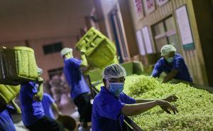 绿色转型④|福州茉莉花茶的芬芳之旅:传承工艺是最真切保护