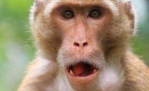 印度森林十几只猴子同时死亡,有兽医称可能是被老虎吼声吓死