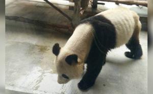 患牙病大熊猫瘦成皮包骨:食量正恢复