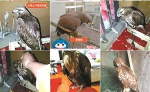 鹰贩子用直播平台视频卖鹰播放驯鹰视频,警方已介入调查